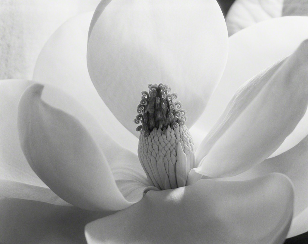 Magnolia Blossom - Art museum