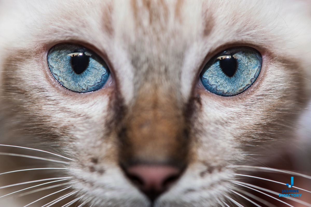 Close-up o a cat with blue eyes